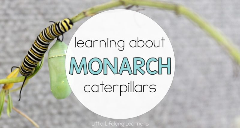 Learning about Monarch Caterpillars